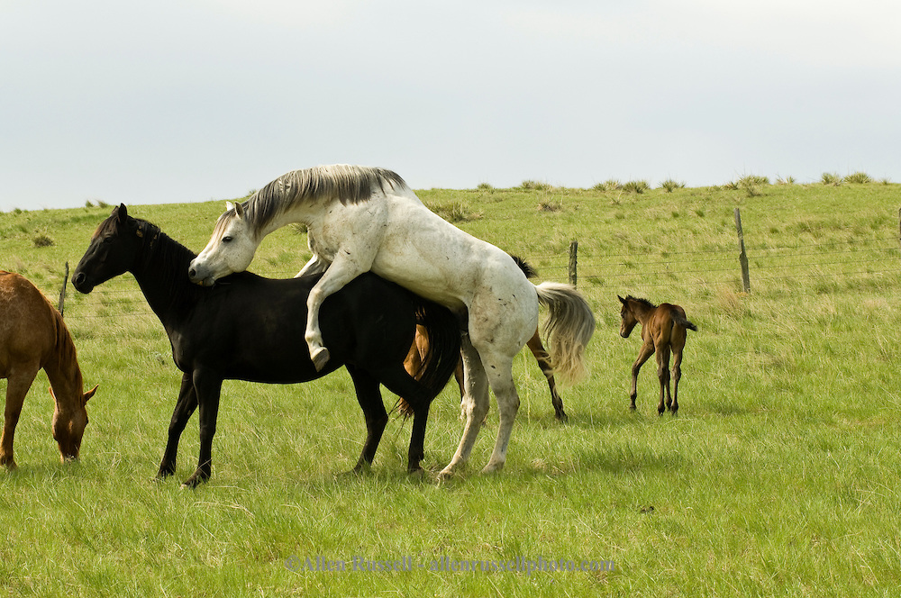 Quarter Horses, stallion breeding mare, natural breeding